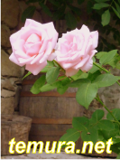 rozi 2